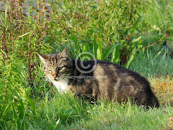 Grey European short hair cat
