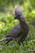 Grey Go Away Bird or Grey Lourie - Botswana