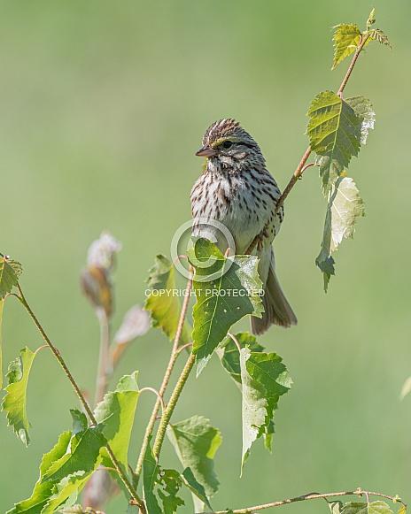 Savannah Sparrow in Alaska