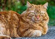 Ginger Cat