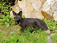 Silver fox kit