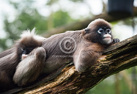 Dusky leaf monkey