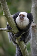 White-headed marmoset (Callithrix geoffroyi)
