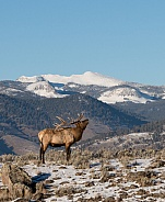 Wild bull elk bugling with snow covered mountains in the background