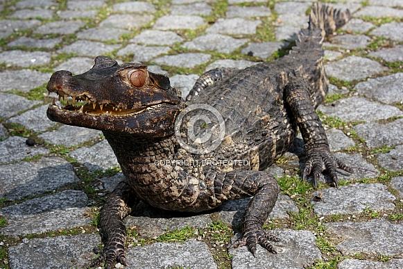 Cuvier's dwarf caiman (Paleosuchus palpebrosus)