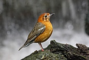 Orange headed ground Thrush