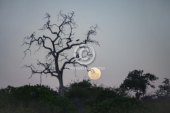 Marabou Stork in a dead tree - Botswana
