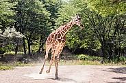 Galloping Giraffe