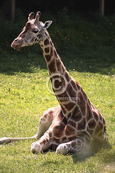 Female Giraffe Lying in the Sunshine