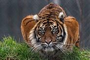 Sumatran Tiger Crouched Down