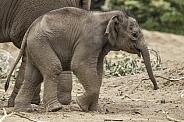 Newborn Asiatic Elephant Calf Full Body Shot