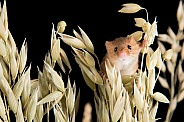 Harvest Mouse
