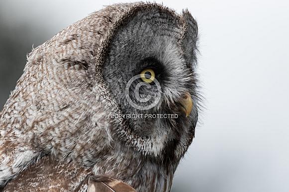 Great Grey Owl Headshot Side Profile
