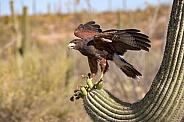 Harris Hawk on Saguaro Cactus