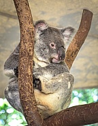 Koalla resting in a forked branch - Queenland Australia