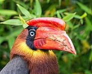 Rufous Hornbill portrait