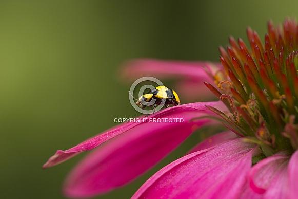Fungus eating ladybird.
