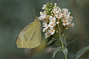 Cabbage White butterfly (wild).