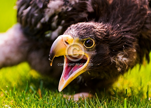 Young Stellers Eagle