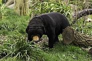 Fully body Sun Bear