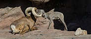 Bighorn Lamb greets his Father