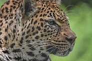 Adult African Leopard