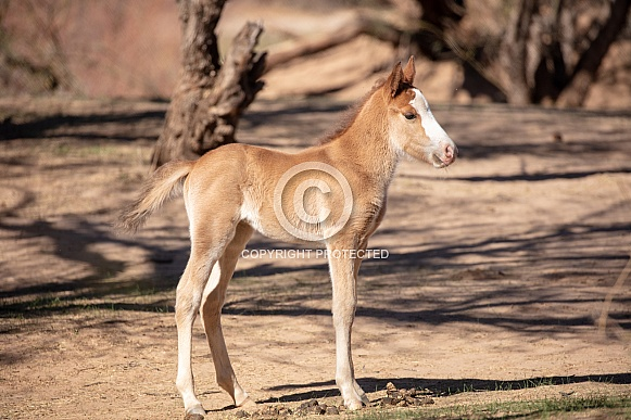 Baby wild horse in the dirt