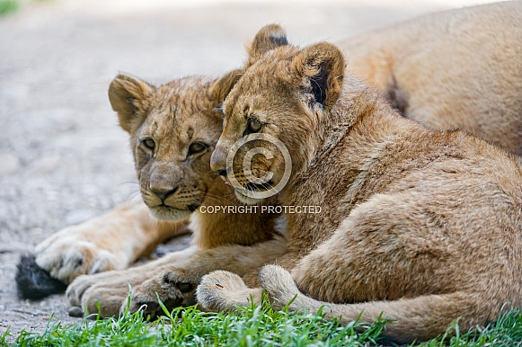Pair of Lion Cubs