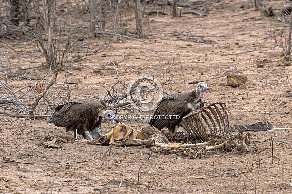 Hooded Vultures on an Impala Kill