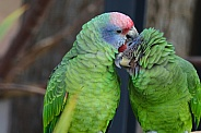 Red tailed amazon parrot