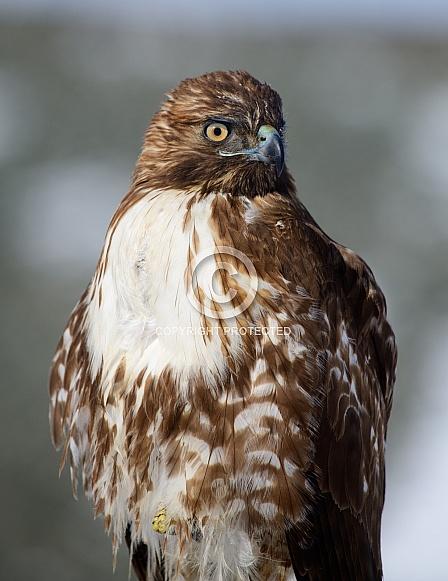 Close up of a Hawk