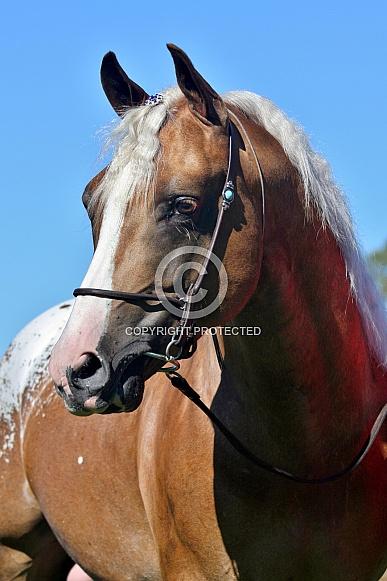 Part-bred Arabian Stallion Portrait