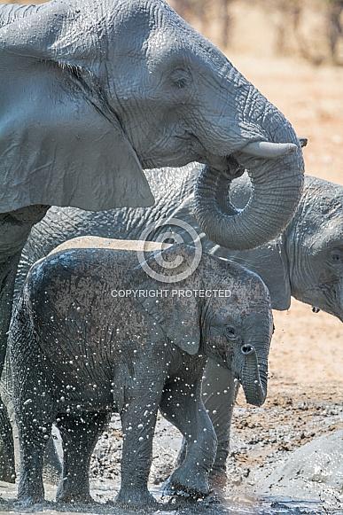 Baby Elephant Mud Bath