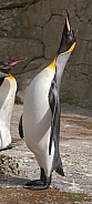 King Emperor Penguin