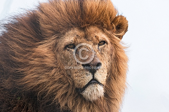 African Lion Male, Wind In Mane