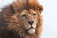African Lion Male, Wind In Mane