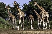 Kordofan Giraffe Herd