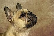 Fawn French Bulldog Face Shot Side Profile