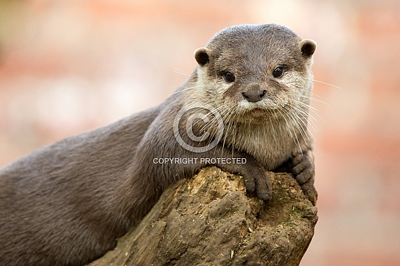 Short Clawed Otter Portrait