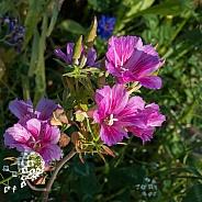 Pink Garden Wildflowers in Summer