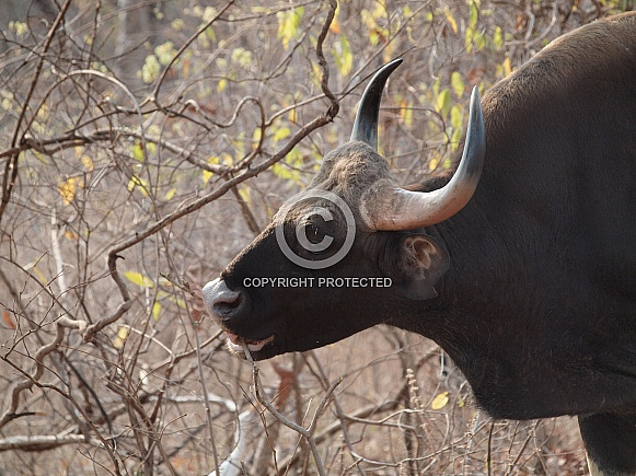 Indian Gaur (Indian Bison)
