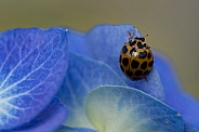Common Spotted Ladybird on hydrangea