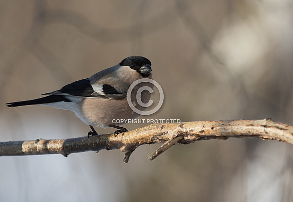Bullfinch female
