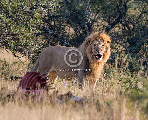 Male Lion With Kill