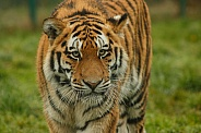 Amur Tiger Walking Towards The Camera