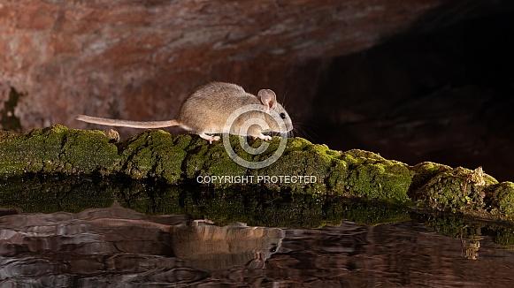 White throated woodrat, pack rat