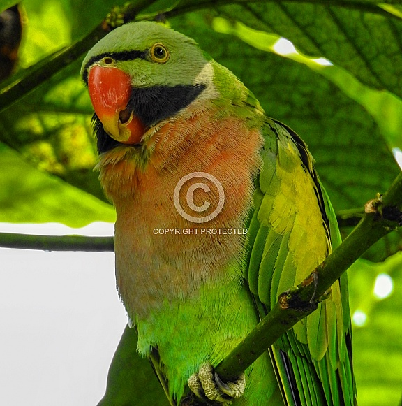 Male Moustached Parakeet