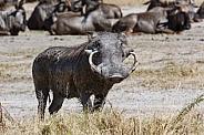 Warthog with large tusks - Botswana