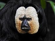 White-faced Saki Monkey Portrait