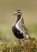 The European golden plover